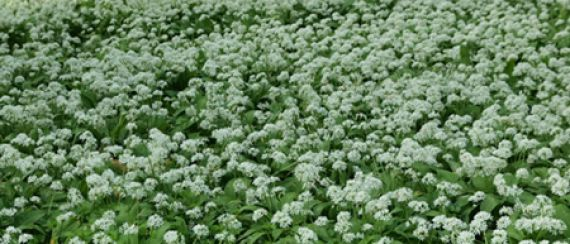Medvehagyma-virágzás ünnepe (2011.04.30.)