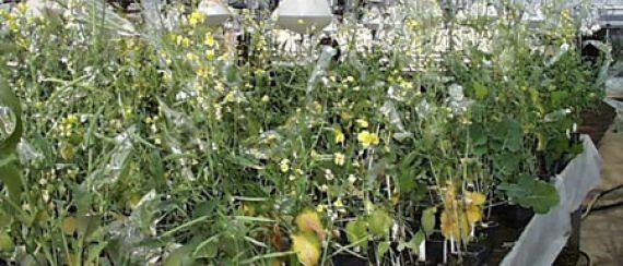 Növénynemesítő és Gabonakutató Intézet